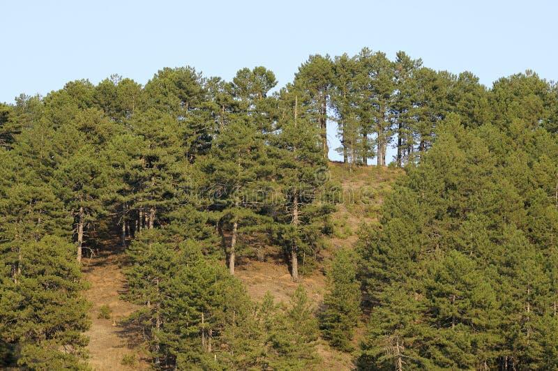 Forêt d'arbre de pin images stock