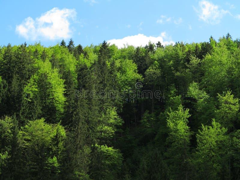 Forêt d'arbre de sapin et de hêtre photos stock