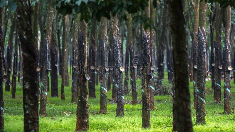 Forêt d'arbre en caoutchouc photographie stock