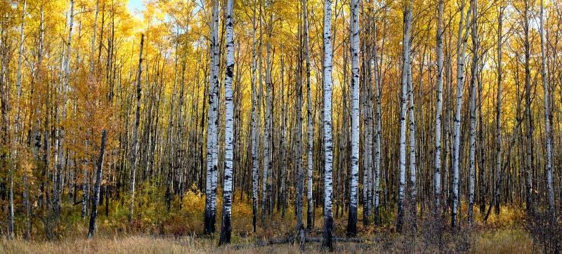 Forêt d'Aspen photographie stock libre de droits