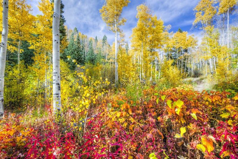 Forêt d'Aspen au Nouveau Mexique image libre de droits
