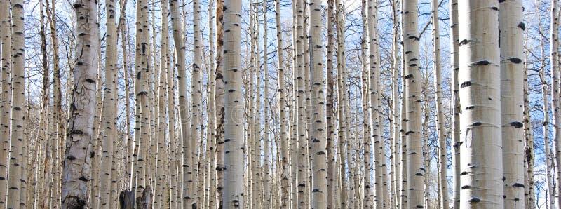 Forêt d'Aspen avec les joncteurs réseau nus et le ciel bleu photographie stock