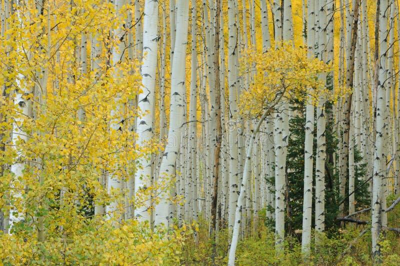 Forêt d'Aspen d'automne photos stock