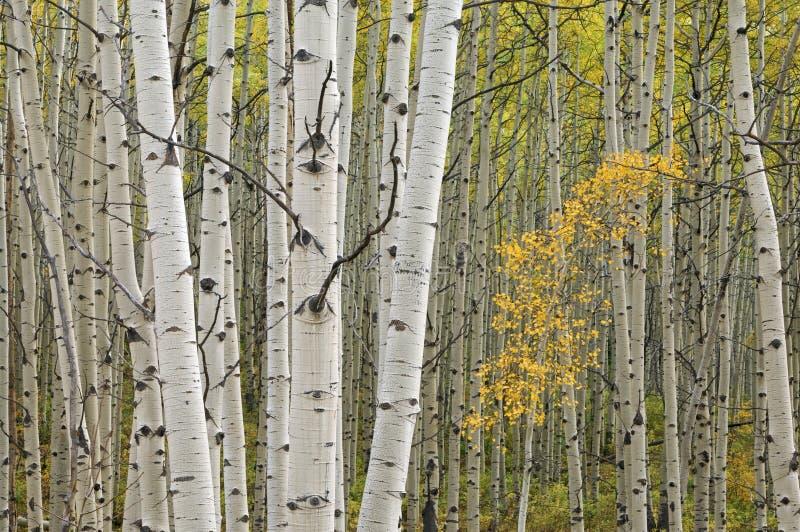 Forêt d'Aspen d'automne photo stock