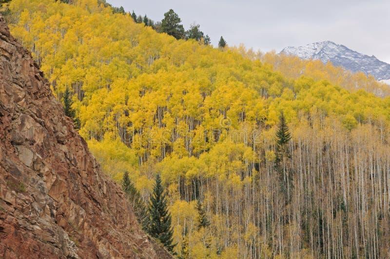 Forêt d'Aspen d'automne photo libre de droits