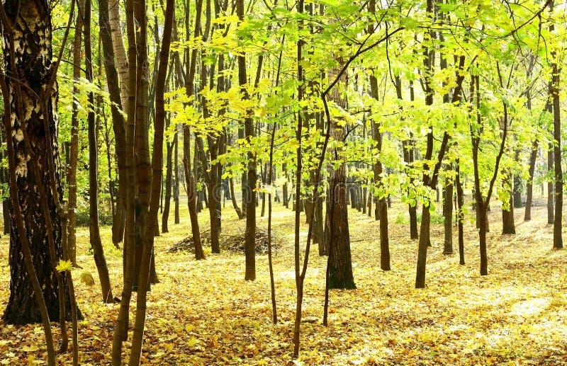 Forêt d'or d'automne ensoleillé en octobre photo libre de droits