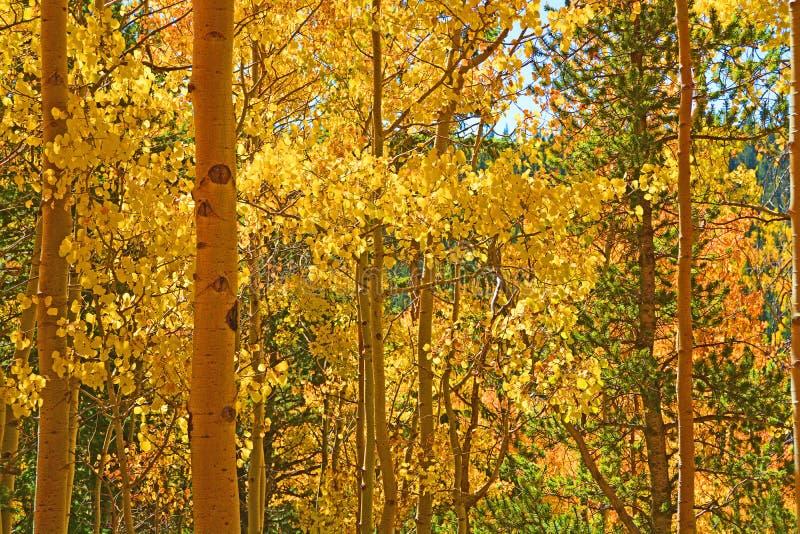 Forêt d'or de tremble illuminée par le Sun image libre de droits