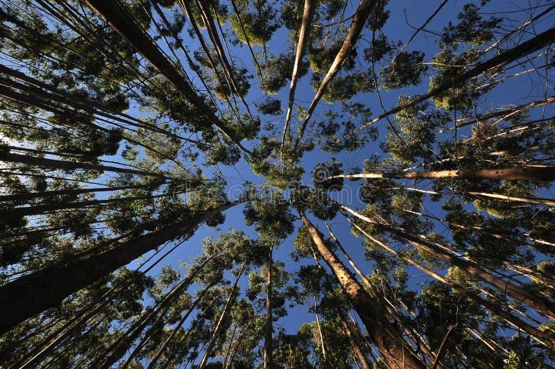 Forêt d'eucalyptus aux valeurs maximales de concentration au poste de travail de KOH image stock