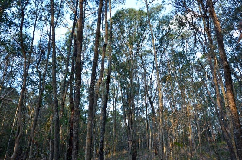 Forêt d'eucalyptus dans l'Australie du Queensland image stock