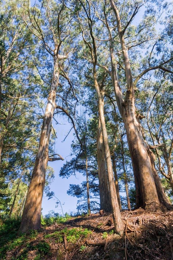 Forêt d'eucalyptus, région de San Francisco Bay, la Californie photo stock