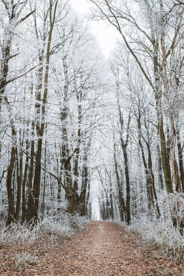Forêt d'hiver avec le chemin de terre et les arbres congelés image stock