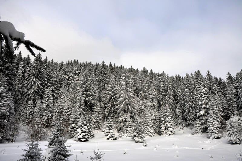Forêt d'hiver en montagne photo libre de droits