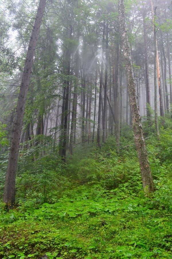 Forêt dans la brume photo stock