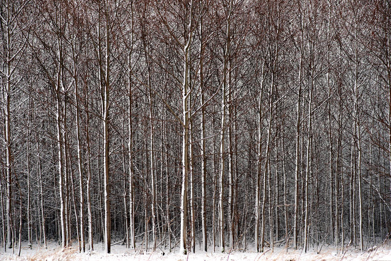 Forêt dans la neige photo libre de droits