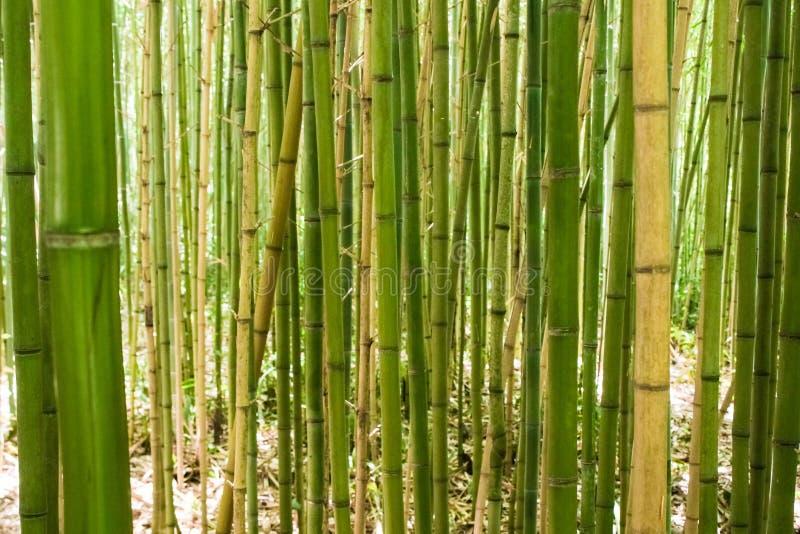 Forêt de bambou de vert et de jaune image stock