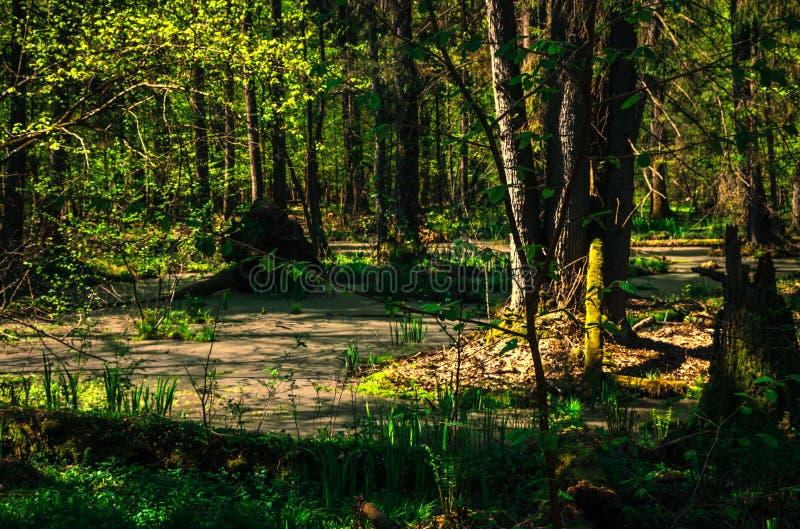Forêt de Bialowieza en Pologne images stock