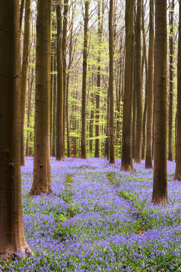 Forêt de Bluebell images stock