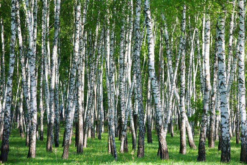 Forêt de bouleau photo stock