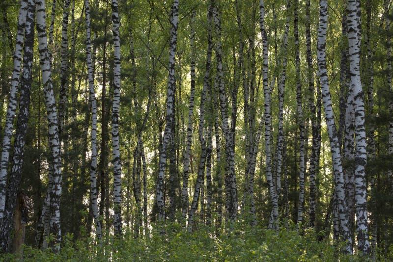 Forêt de bouleau au printemps images stock