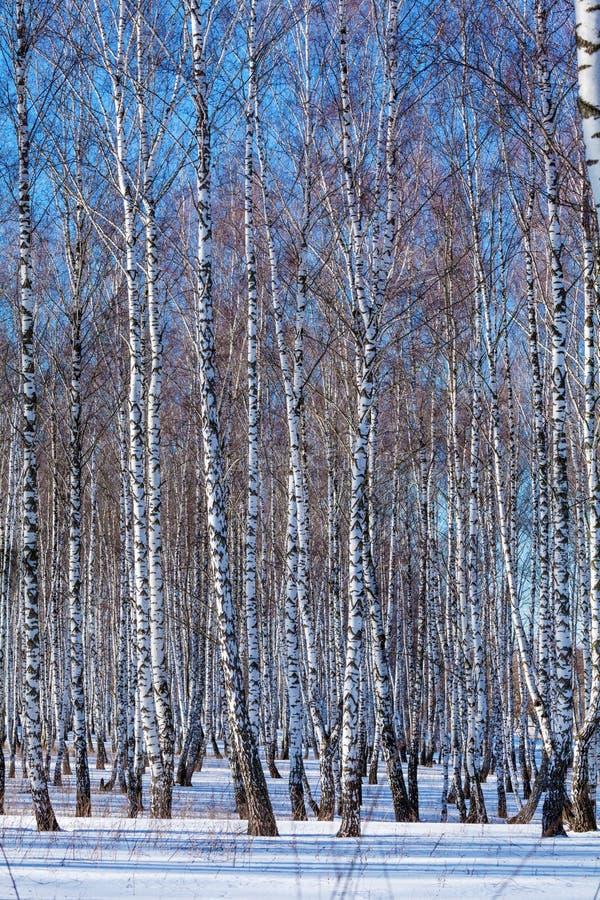 Forêt de bouleau avec la neige à l'hiver images stock