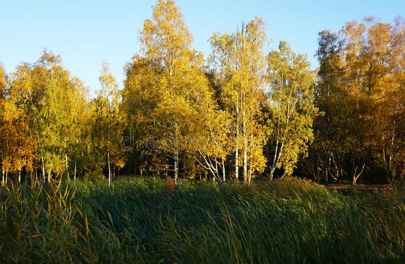 Forêt de bouleau avec le feuillage jaune d'automne premier plan g vert grand photographie stock