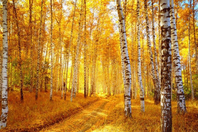 Forêt de bouleau d'automne image stock