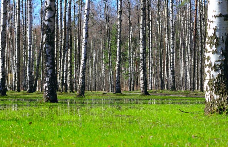 Forêt de bouleau de printemps image libre de droits