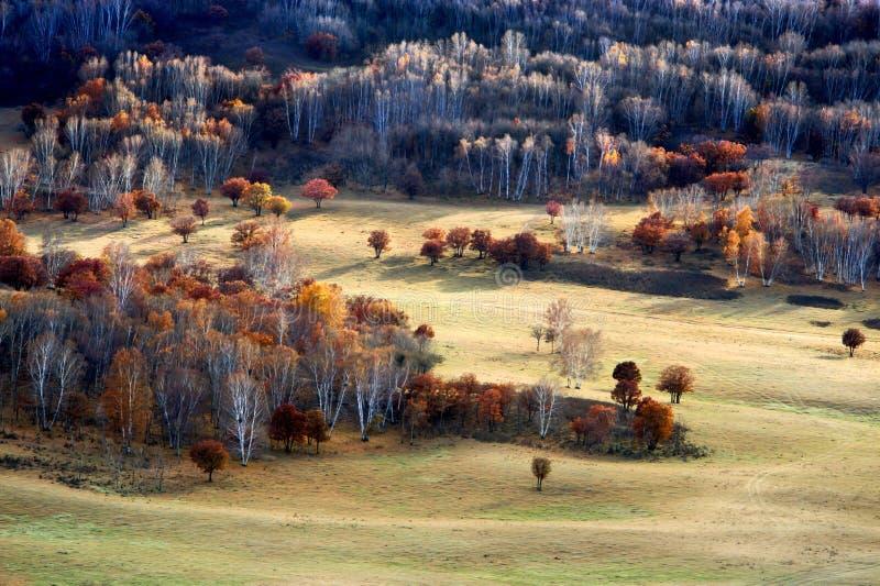 Forêt de bouleau en automne photos stock