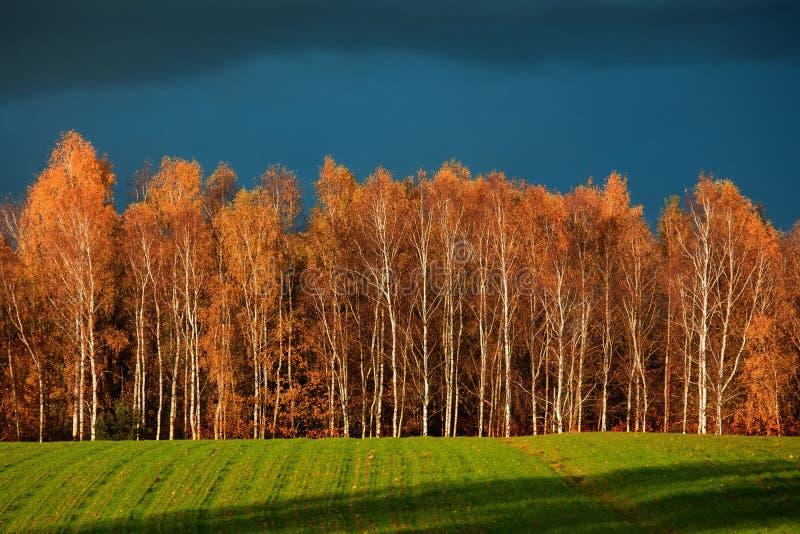 Forêt de bouleau en automne photo libre de droits