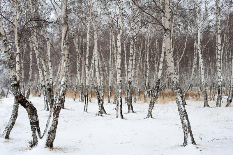 Forêt de bouleau en hiver image stock
