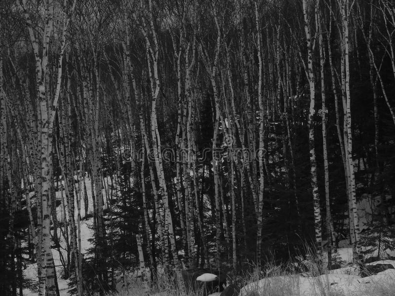 Forêt de bouleau en hiver image libre de droits