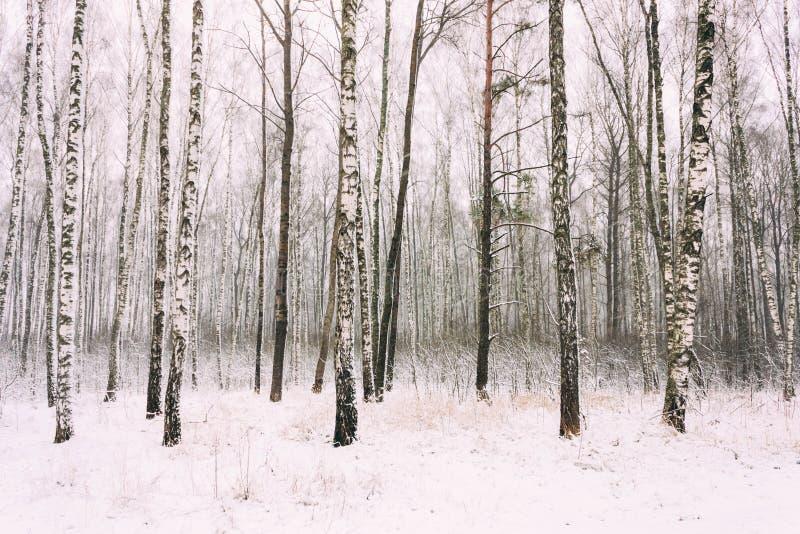 Forêt de bouleau en hiver images libres de droits