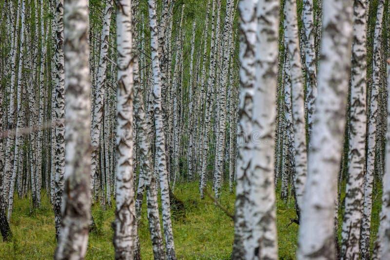 Forêt de bouleau en Russie centrale photo stock