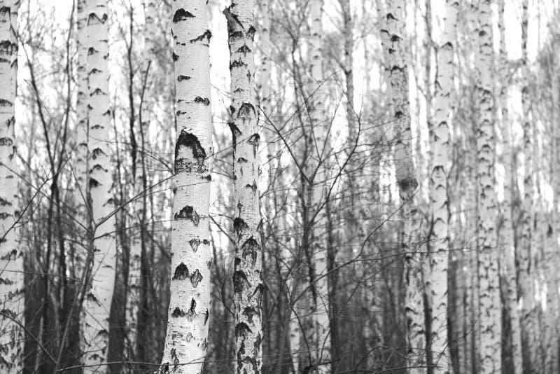 Forêt de bouleau, photo blanc noir photos libres de droits