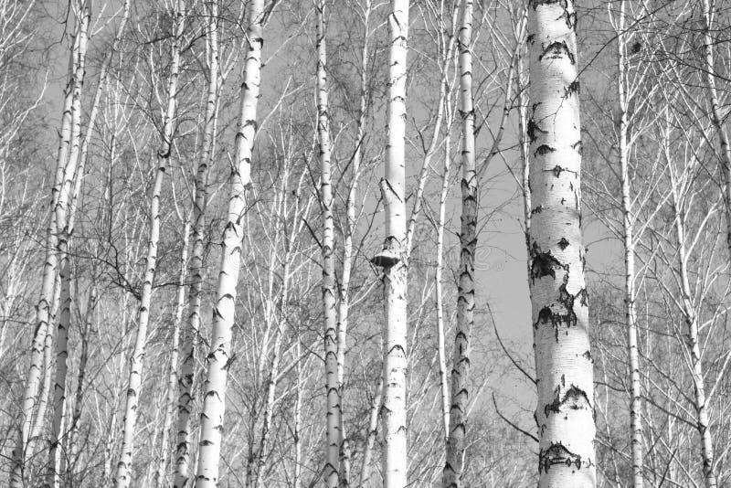 Forêt de bouleau, photo blanc noir photos stock