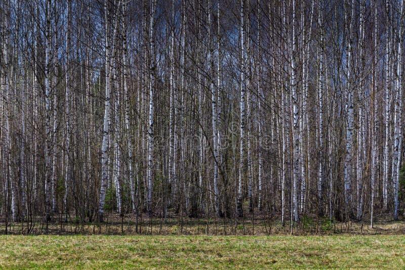 Forêt de bouleau de ressort photo stock