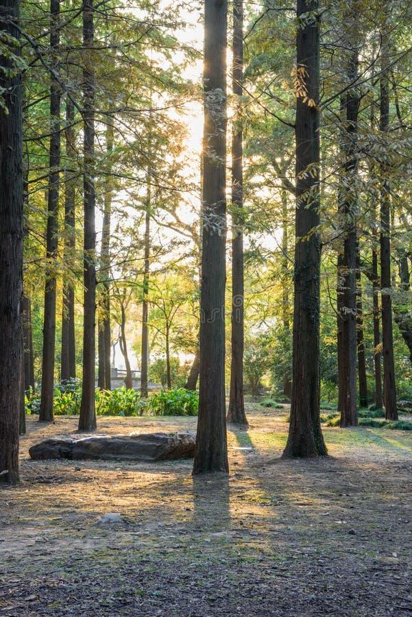 Forêt de cèdre photographie stock