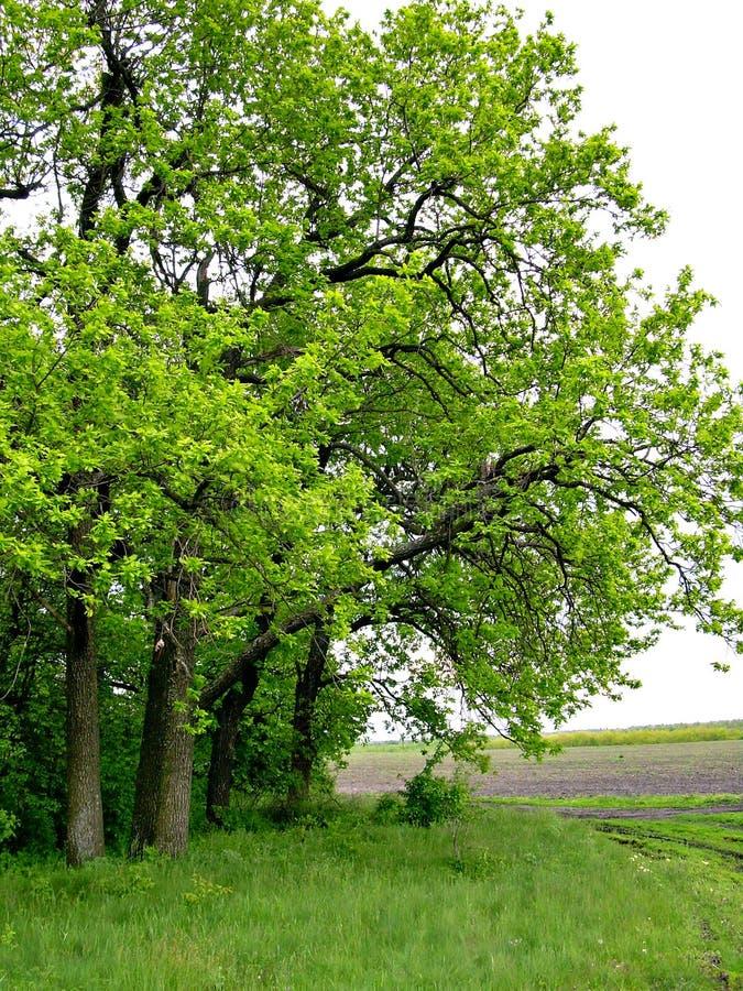 Forêt de chêne photo stock