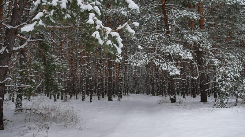 Forêt de chute de neige de pin de nature de forêt d'hiver avec fond d'arbre de Noël de neige d'hiver de paysage de neige le beau photo libre de droits