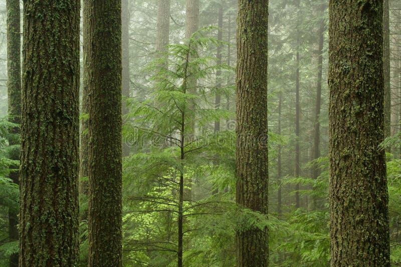 Forêt de cigûe occidentale (heterophylla de Tsuga) images libres de droits
