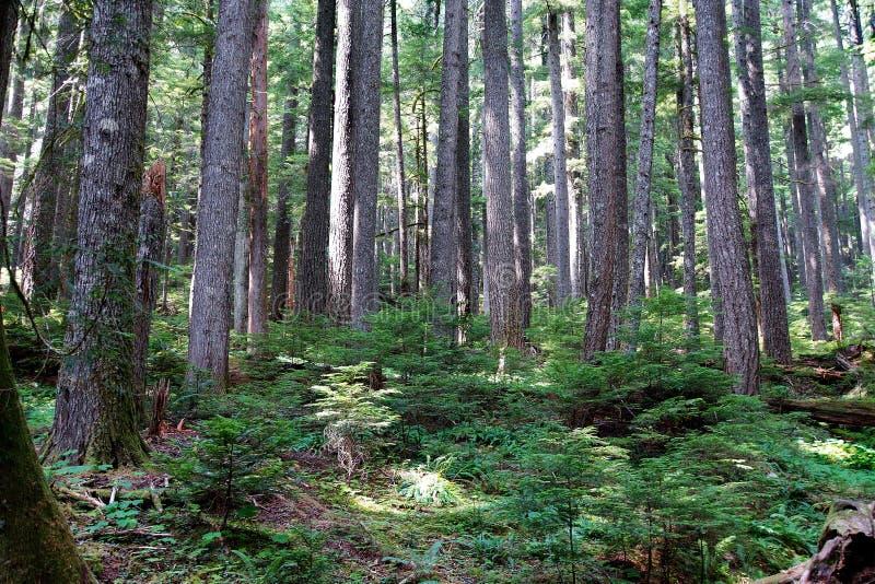 Forêt de cigûe occidentale et de Douglas Fir image stock