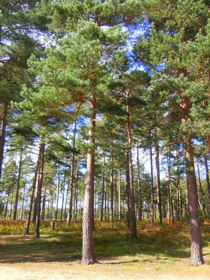 Forêt de conifère images stock