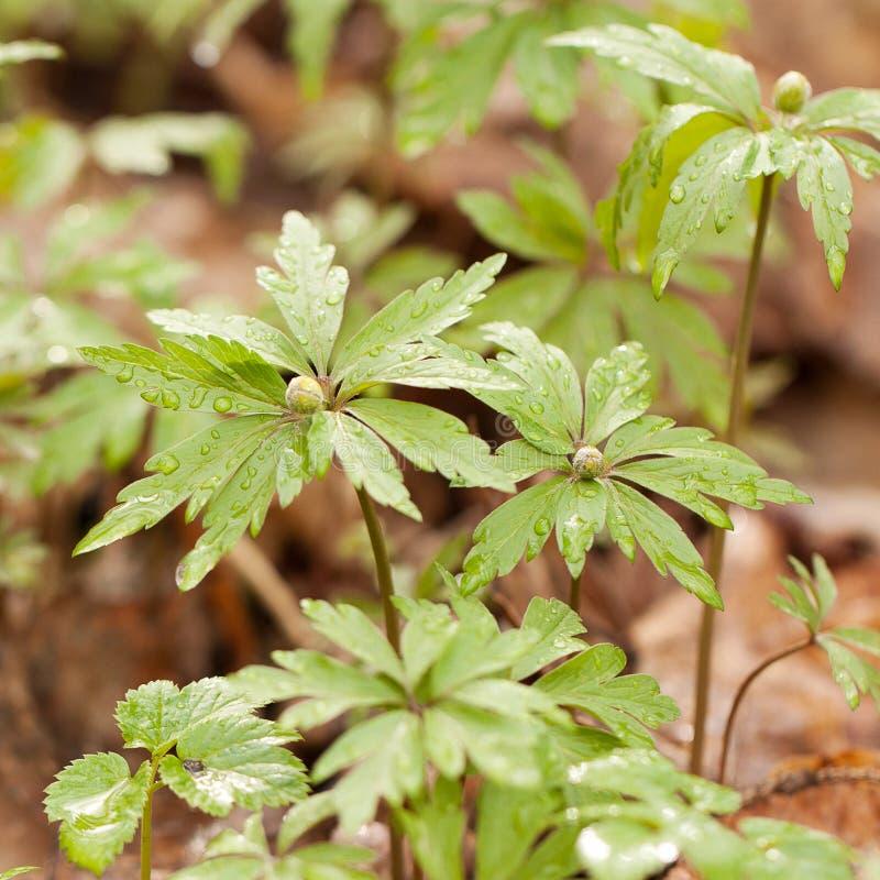 Forêt de floraison d'anémone au printemps images libres de droits