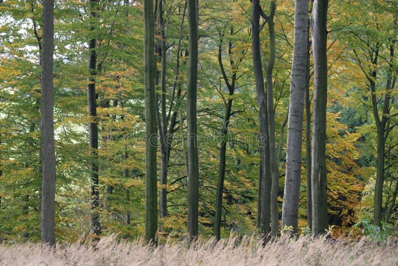Forêt de hêtre photos libres de droits