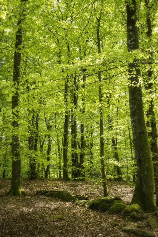 Forêt de hêtre au printemps photos libres de droits
