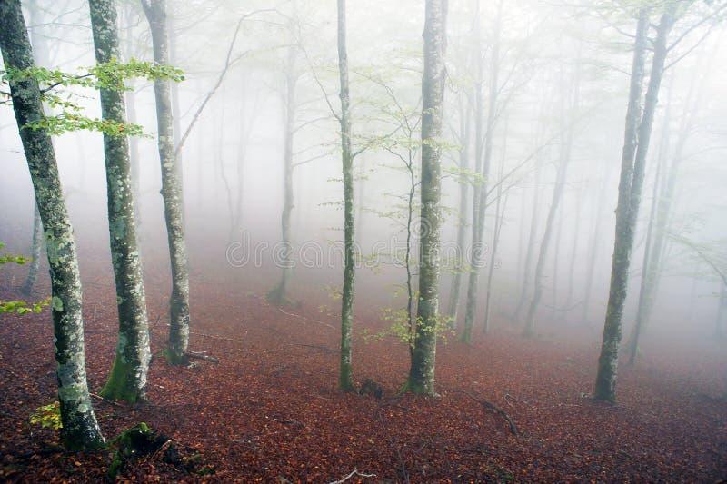 Forêt de hêtre avec le brouillard photos libres de droits