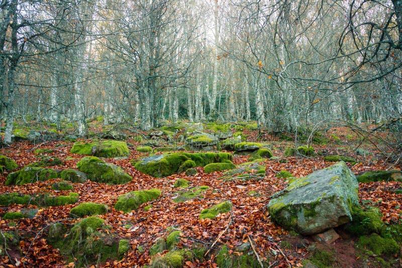Forêt de hêtre d'Ujaperos de paysage d'automne avec de la mousse verte et les feuilles tombées image libre de droits