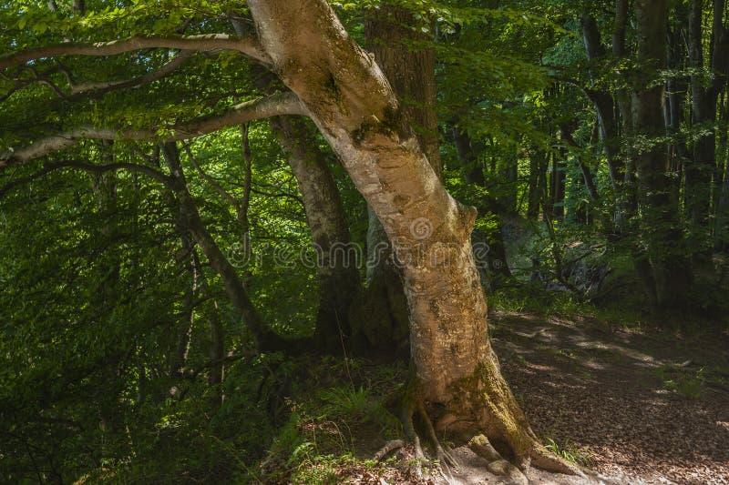 Forêt de hêtre en parc national de Jasmund près de Sassnitz photographie stock libre de droits