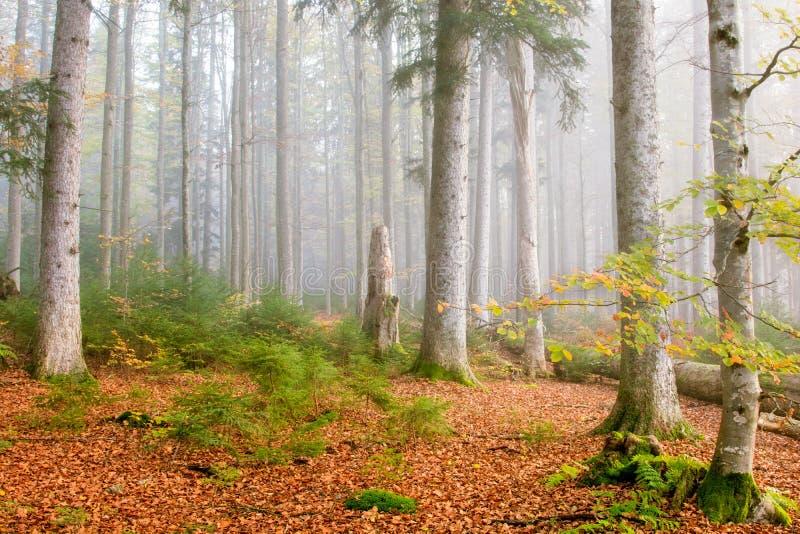 Forêt de hêtre (Fagus) photo libre de droits