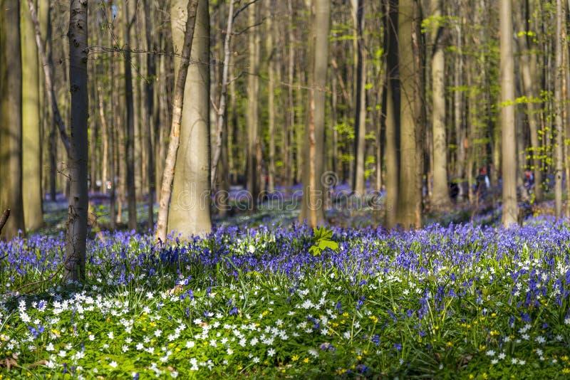 Forêt de jacinthes des bois, Tranendal (vallée de larme) dans Hallerbos, Belgique photographie stock